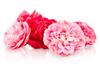 Edible Camellias for Sale