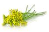 Fennel Flowers Online