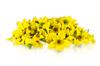 Micro Sun Daisy
